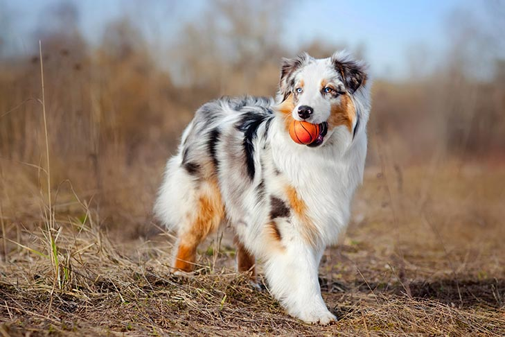 #4 Australian Shepherd getting the ball for owner and learn anything