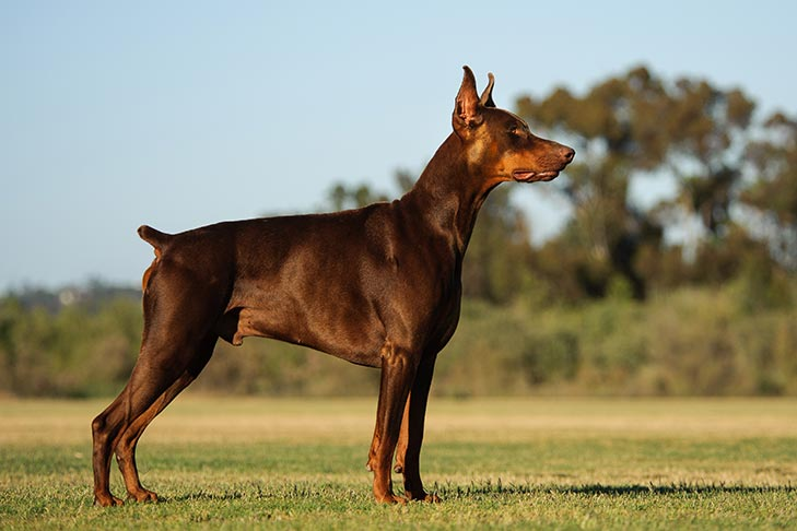 #8 ferocious Doberman looking for next command. extremely obedient