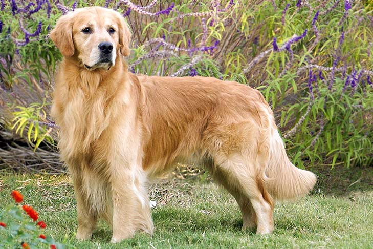 #7 Golden Retriever always waiting for you to play with