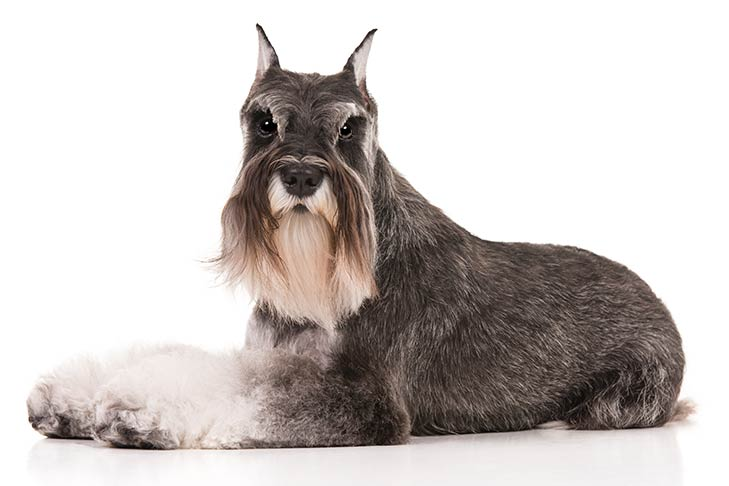 #10 Miniature Schnauzer with full grown mustache ranked at 10th