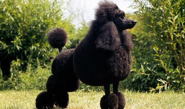 #5 Poodle: full grown and at it best obedience