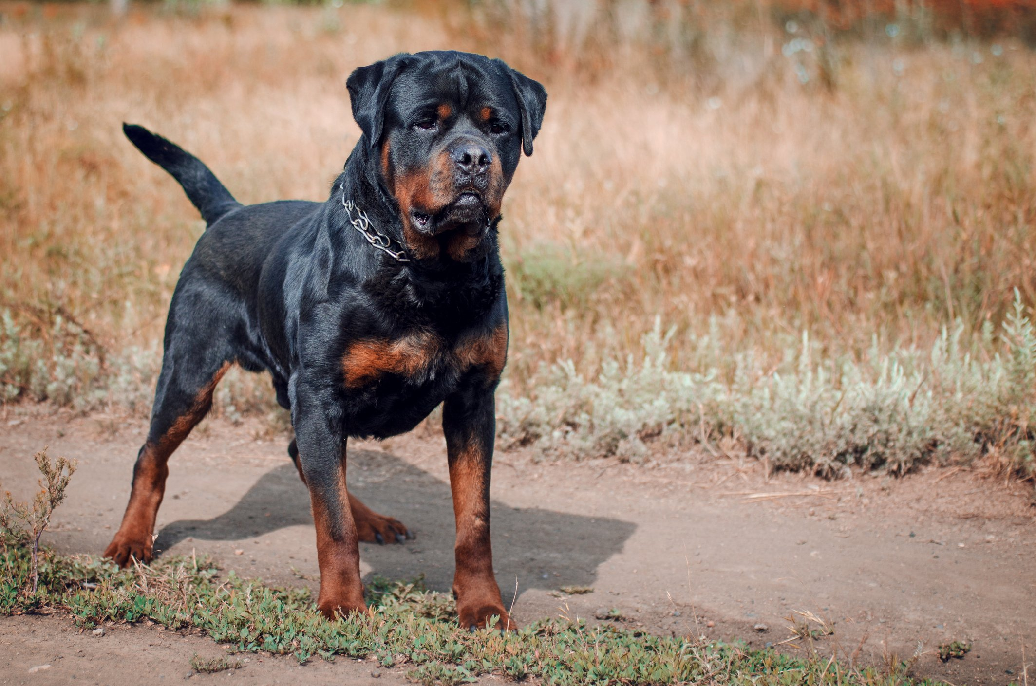 #9 Rottweiler: this one is little bored but one the most trainable dog breeds