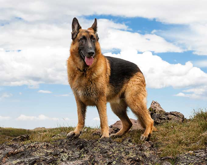 #3  A German Shepherd Posing Majestically eager to please you